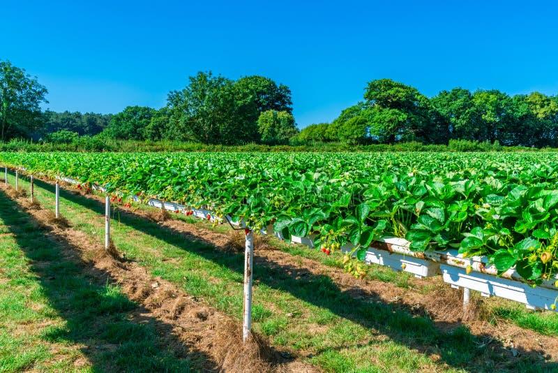 Rijen van aardbeien op Engels fruitlandbouwbedrijf royalty-vrije stock foto