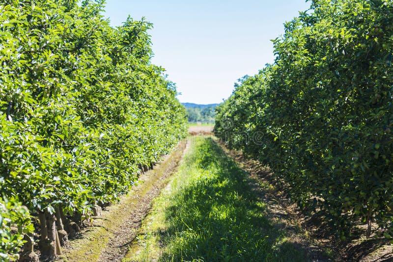 Rijen van appelbomen stock afbeeldingen