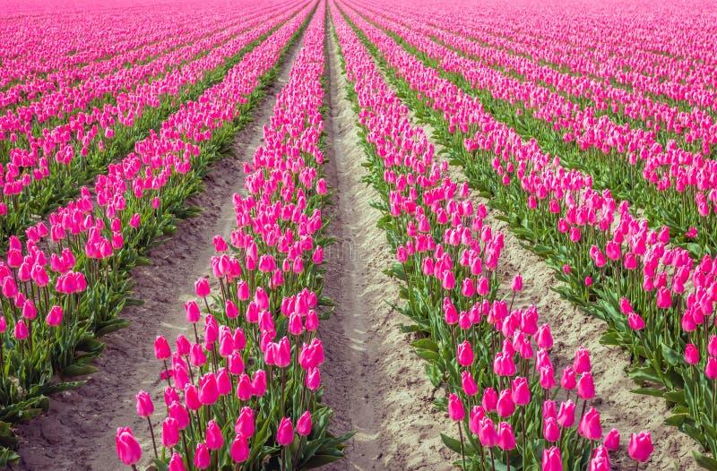 Rijen van bloeiende tulpenbollen in Nederland royalty-vrije stock fotografie