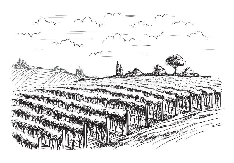 Rijen van de installaties van de wijngaarddruif royalty-vrije illustratie