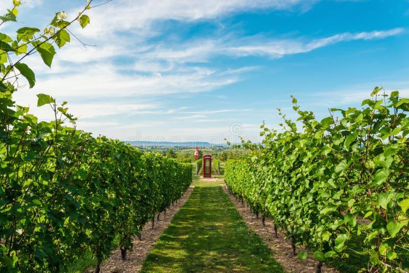 Rijen van druiven alvorens te oogsten stock afbeeldingen