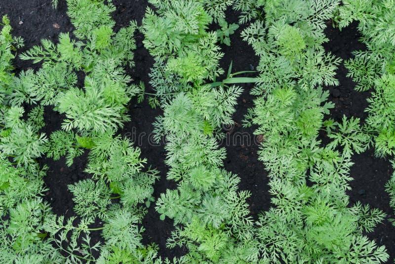 Rijen van eco-jonge wortelgewassen in voorjaarstuin stock afbeeldingen