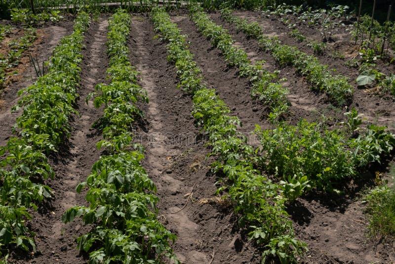 Rijen van groene aardappelplant op gebied stock fotografie