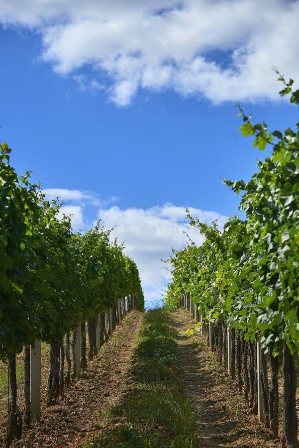 Rijen van groene wijngaarden in de zomer in Zuid-Moravië, Tsjechische Republiek royalty-vrije stock foto's