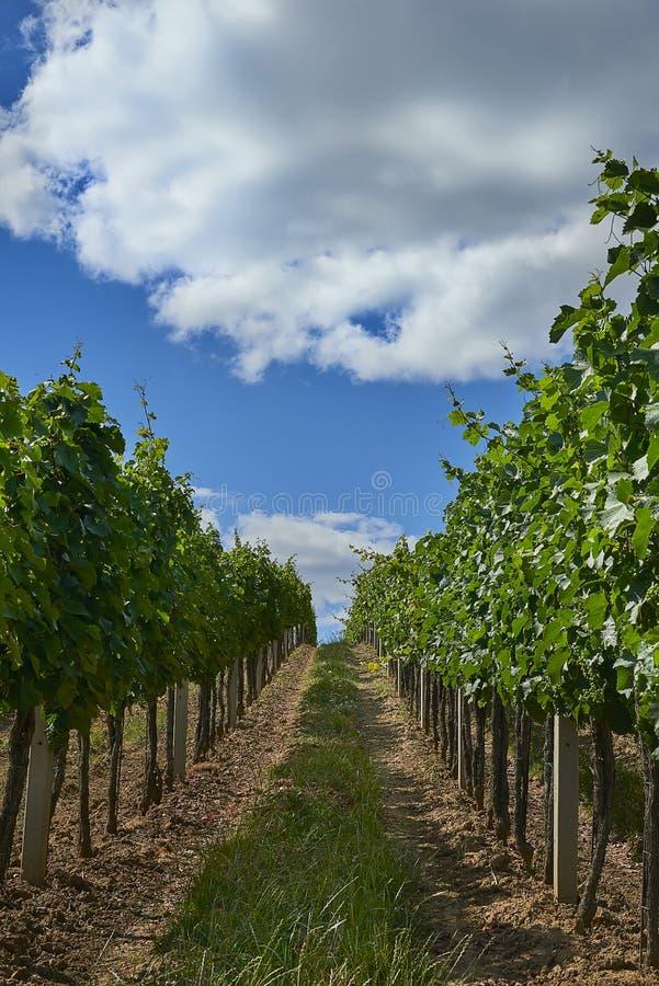 Rijen van groene wijngaarden in de zomer in Zuid-Moravië, Tsjechische Republiek stock foto's