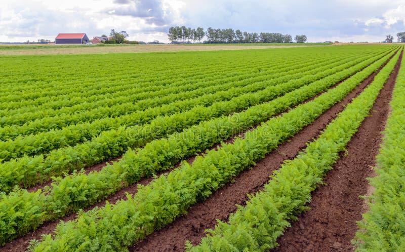 Rijen van heldergroene wortelinstallaties op een Nederlands gebied royalty-vrije stock afbeeldingen