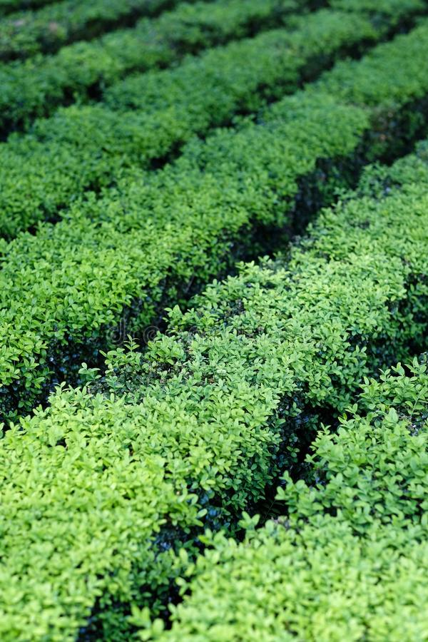 Rijen van het groene struik planten royalty-vrije stock afbeelding
