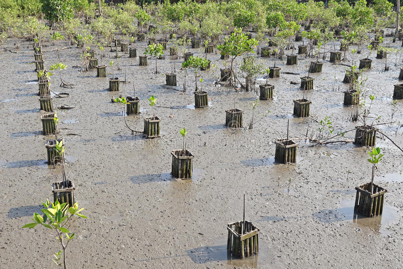 Rijen van jong aanplantingsgebied bij mangrovebos stock afbeeldingen