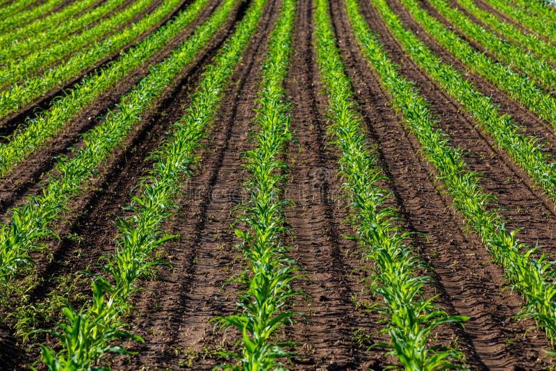 Rijen van jong graan in de zon royalty-vrije stock afbeelding