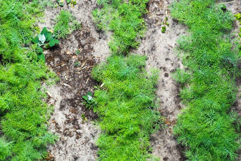 Rijen van jonge dille in de tuin stock afbeeldingen