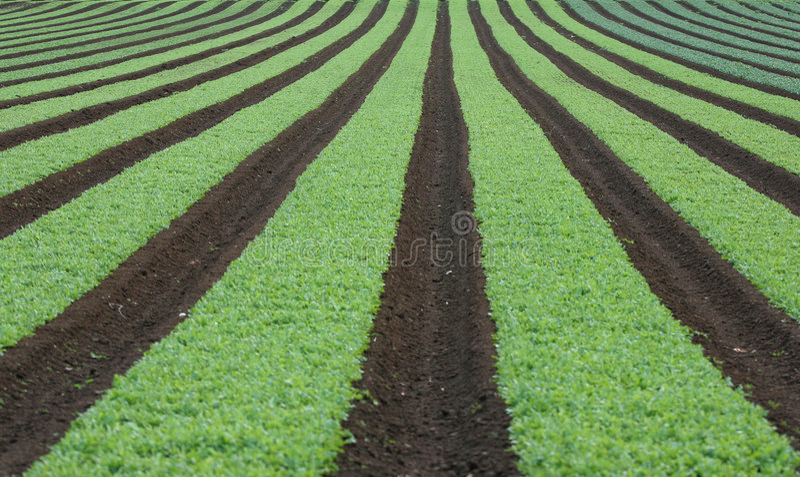 Rijen van jonge groenten stock foto's