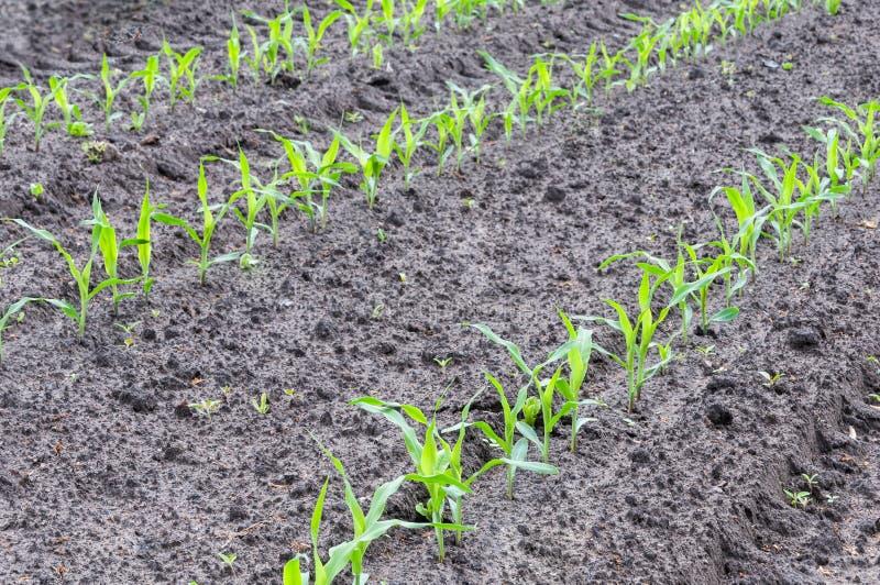Rijen van jonge maïsinstallaties in aarde stock foto