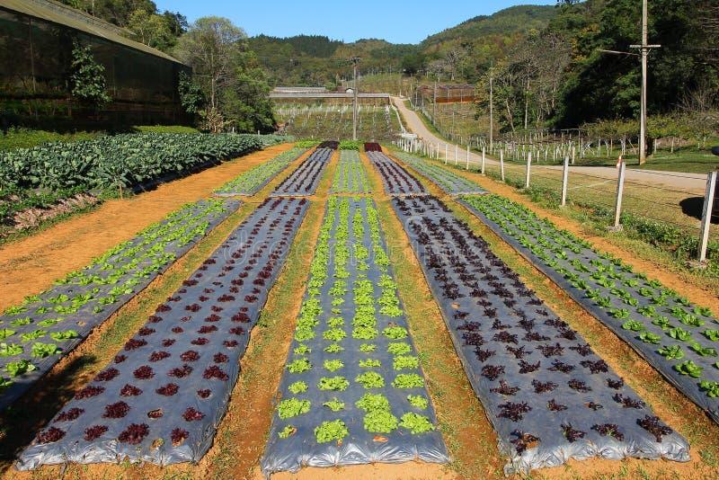 Rijen van jonge plantaardige zaailingen Luttucelandbouwbedrijf in Thailand stock fotografie