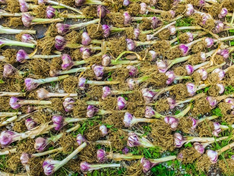 Rijen van knoflook bio drogende grond royalty-vrije stock afbeelding