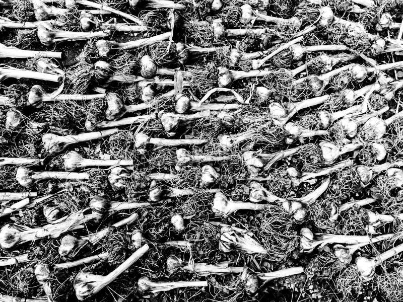 Rijen van knoflook bio drogende grond royalty-vrije stock afbeeldingen
