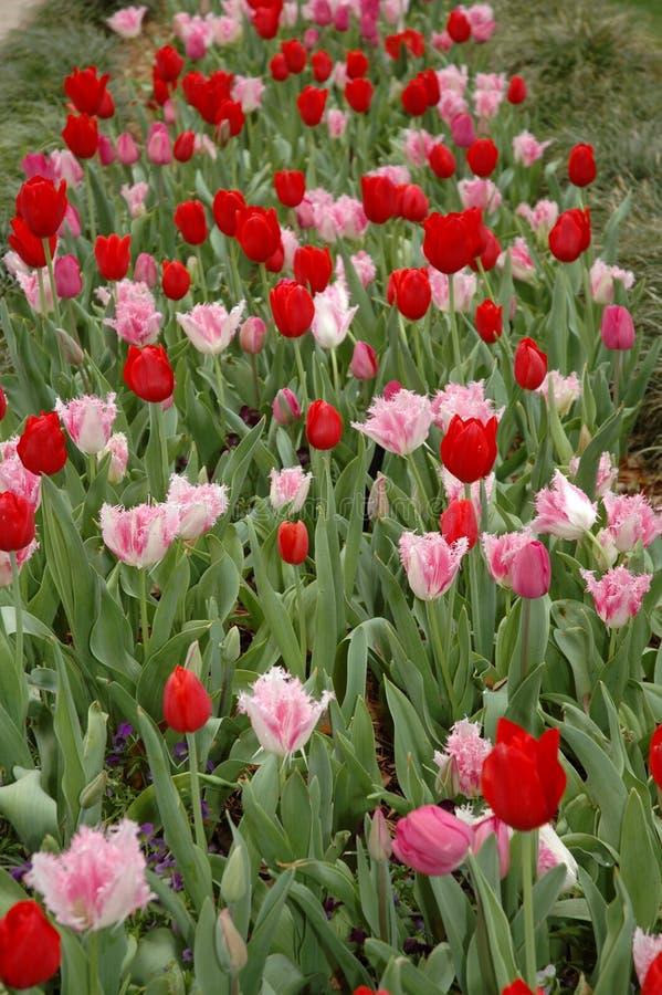 Rijen van Rode Tulpen royalty-vrije stock afbeelding
