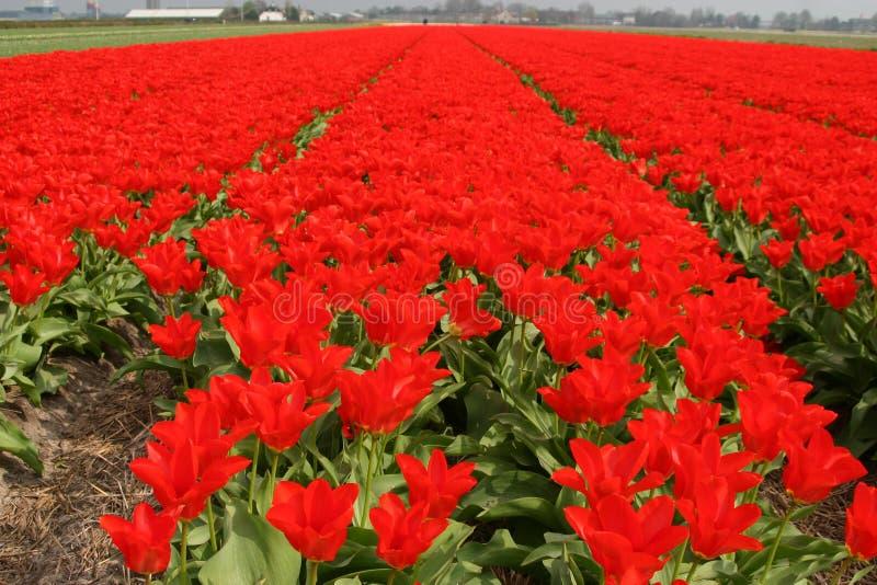 Rijen van rode tulpen stock foto's