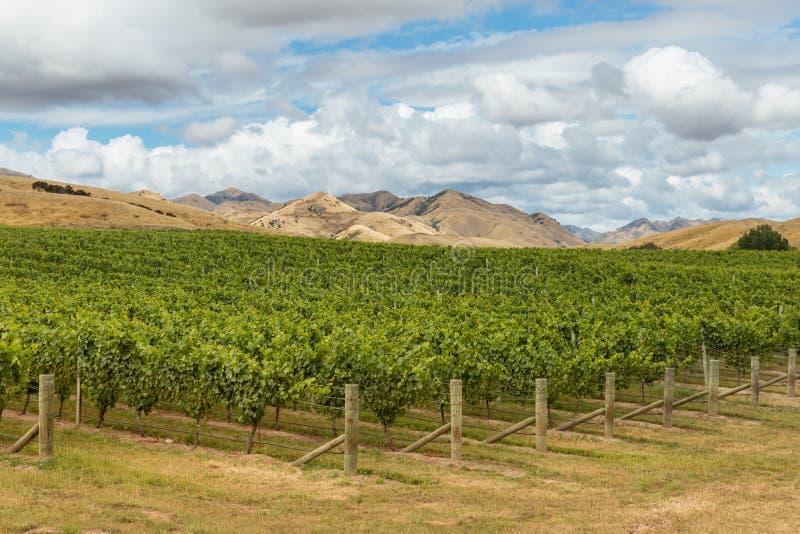 Rijen van Sauvignon Blanc-wijnstok het groeien in wijngaard in Nieuw Zeeland stock foto's