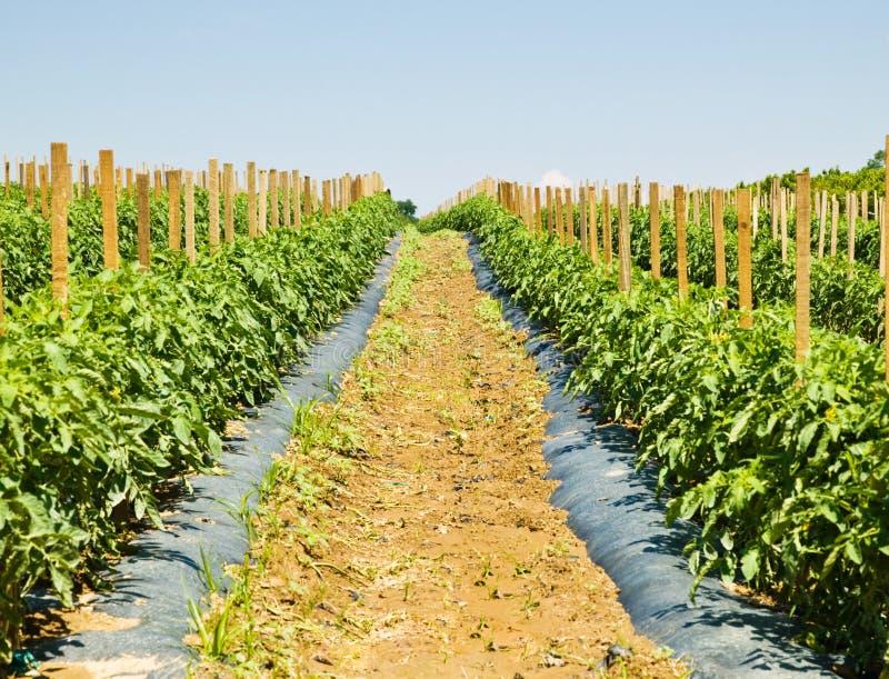 Rijen van Tomatenplanten op een Landbouwbedrijf stock afbeeldingen