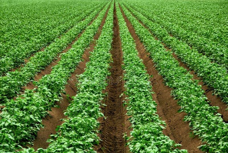 Rijen van trillende groene gewasseninstallaties royalty-vrije stock afbeeldingen