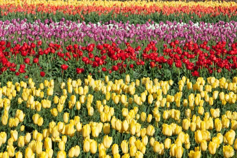Rijen van Tulpen royalty-vrije stock fotografie