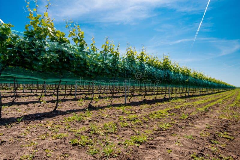 Rijen van wijngaarden royalty-vrije stock foto