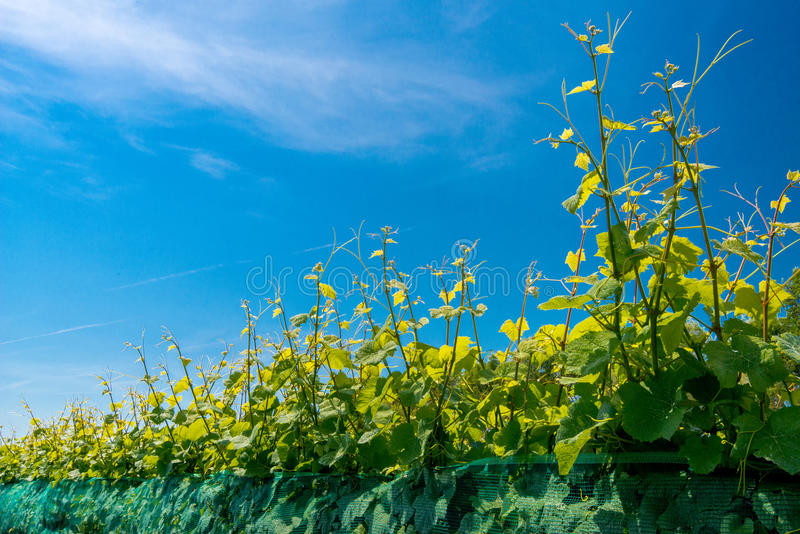 Rijen van wijngaarden stock afbeelding