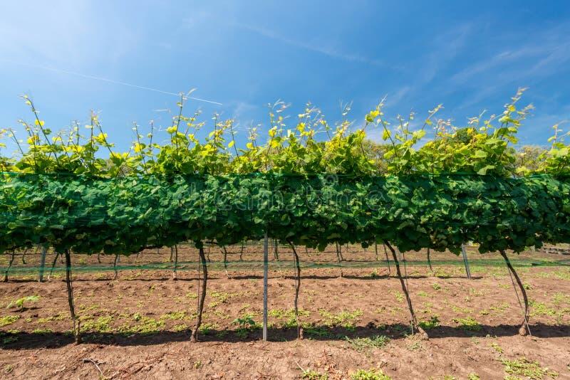 Rijen van wijngaarden stock foto