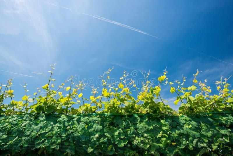 Rijen van wijngaarden stock foto's