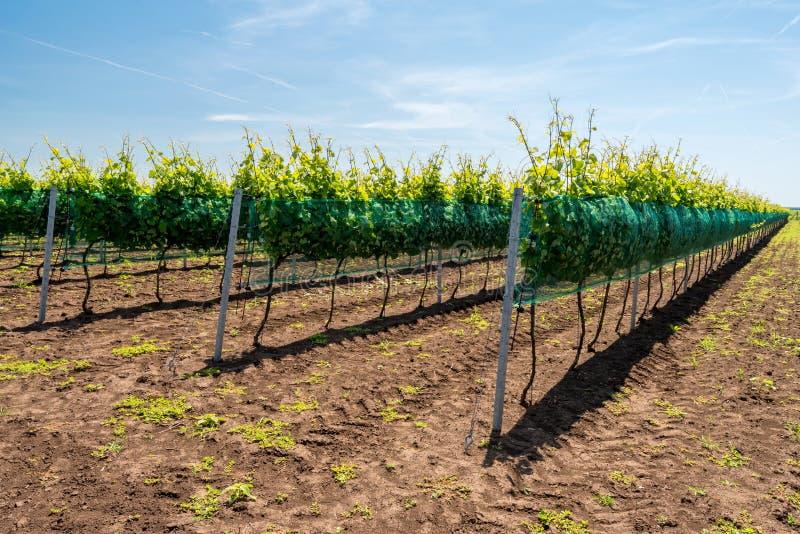 Rijen van wijngaarden stock fotografie