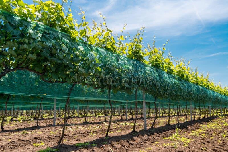 Rijen van wijngaarden royalty-vrije stock fotografie