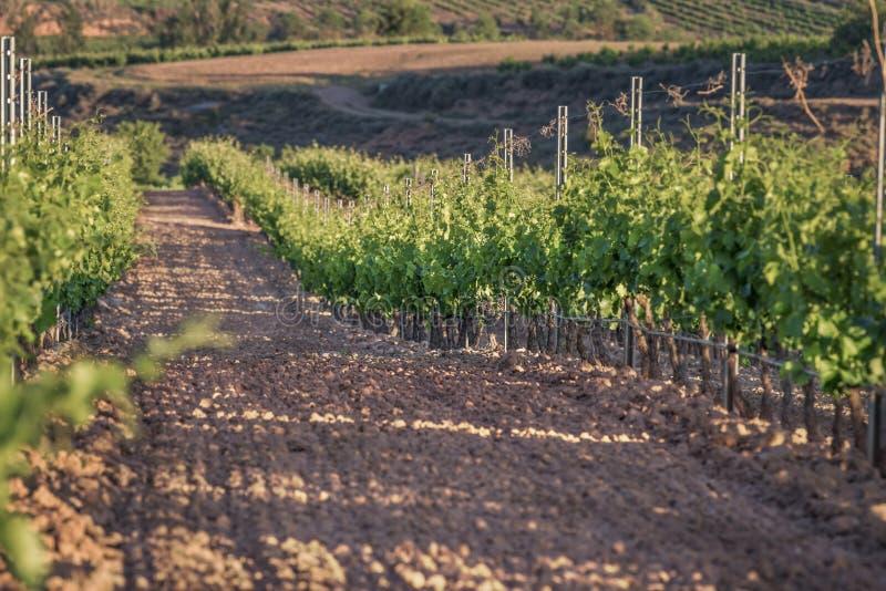 Rijen van wijngaarden bij zonsopgang met selectieve nadruk stock foto's