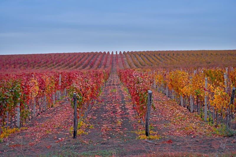Rijen van WijngaardWijnstokken Het landschap van de herfst met kleurrijke wijngaarden E Autumn Color royalty-vrije stock fotografie