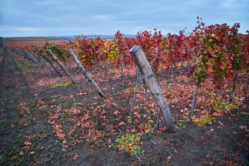 Rijen van WijngaardWijnstokken Het landschap van de herfst met kleurrijke wijngaarden E Autumn Color royalty-vrije stock foto's