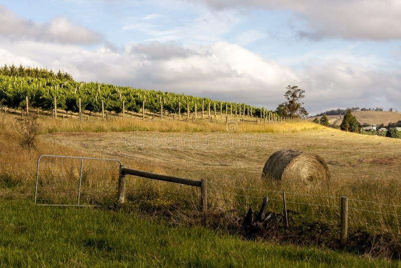 Rijen van wijnstok en gele rijpe hooiberg van tarwe, gebieden in Zuid-Australië Landelijk landschap royalty-vrije stock fotografie