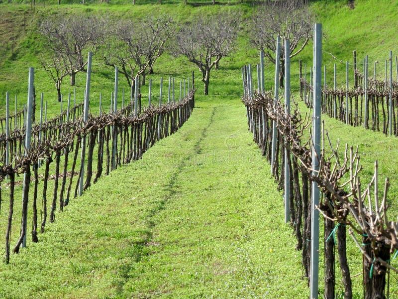 Download Rijen van wijnstokken stock foto. Afbeelding bestaande uit land - 39109614