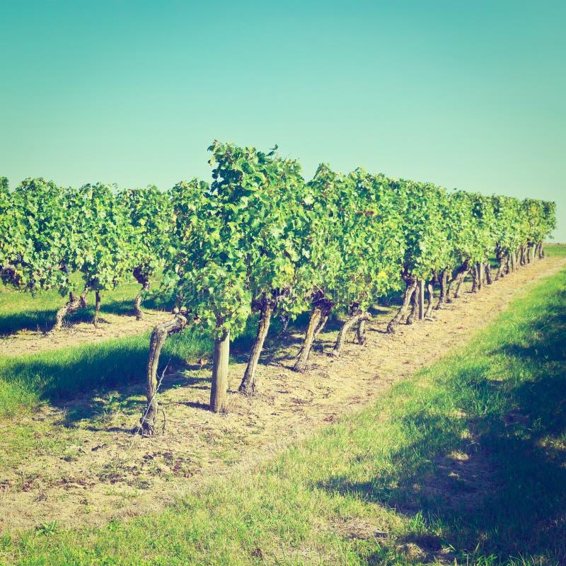 Rijen van wijnstokken royalty-vrije stock afbeelding