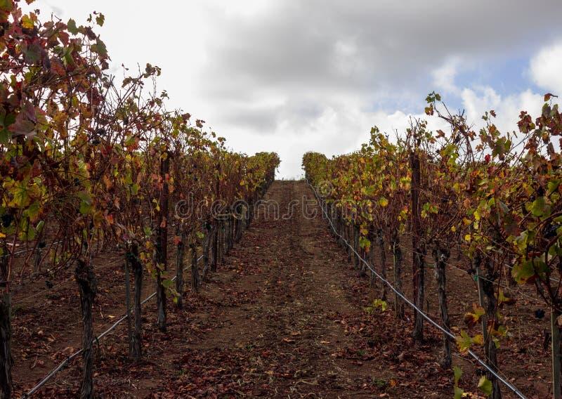Rijen van wijnstokken in Carneros, Californië royalty-vrije stock fotografie