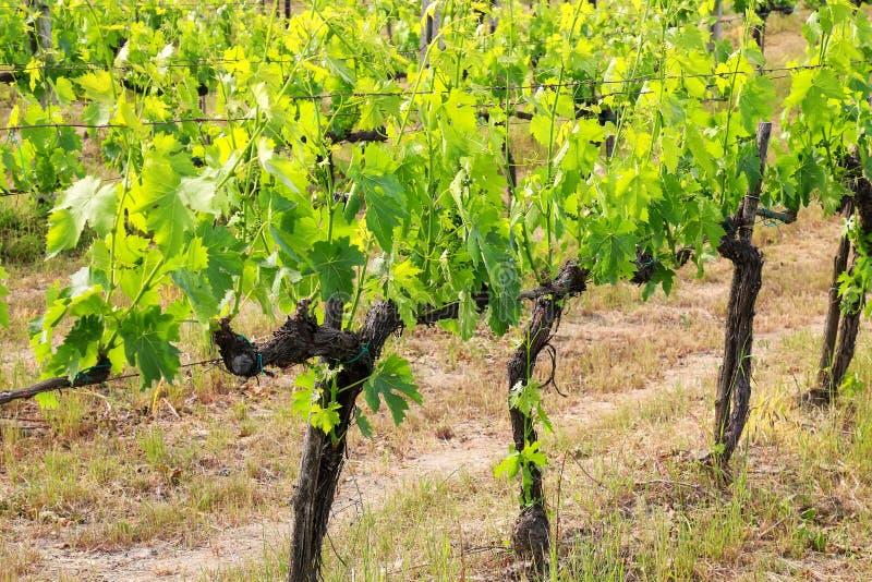 Rijen van wijnstokken dichtbij Montalcino, Val D ` Orcia, Toscanië, Italië stock fotografie