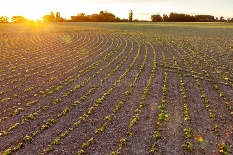 Rijen van zaailingen op het landbouwbedrijf stock foto's