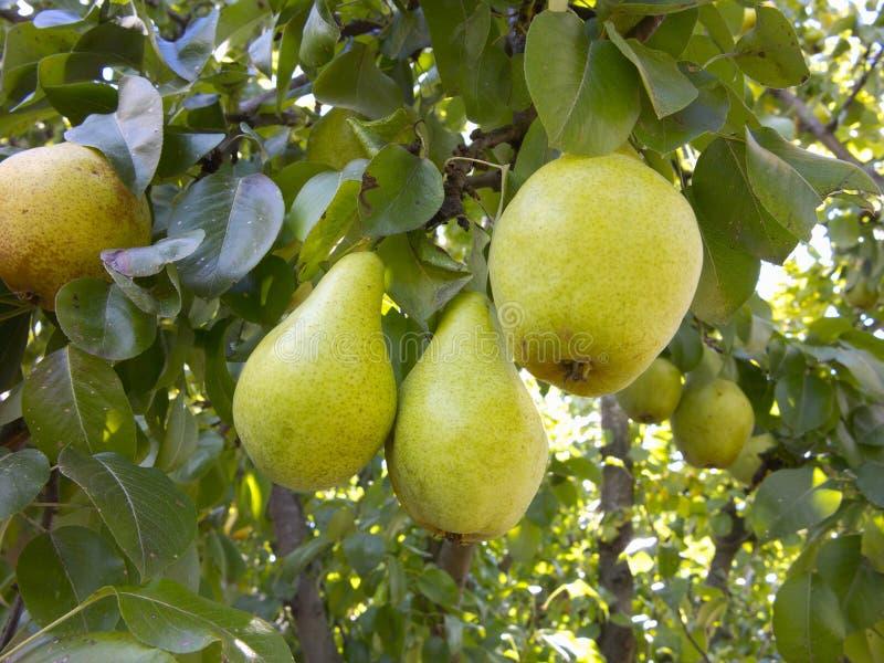 Rijke oogst - tak met sappige peren royalty-vrije stock foto