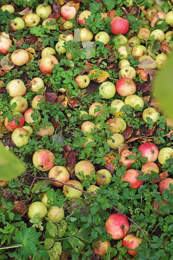 Rijke oogst van appelen royalty-vrije stock afbeelding