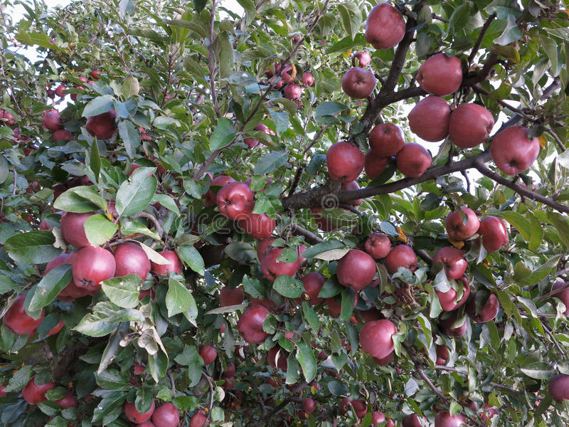Rijke oogst van sappige rode appelen op boomtak stock foto's