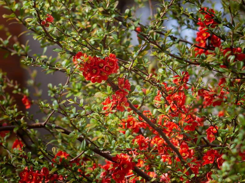 Rijke rode Malus-Centurion bloemen - Crabapple-boom stock foto