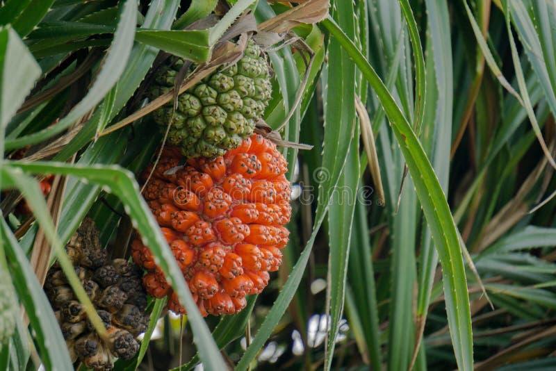 Rijp en onrijp fruit van Schroefpijnboom of Pandanus odorifer op de boom royalty-vrije stock afbeelding