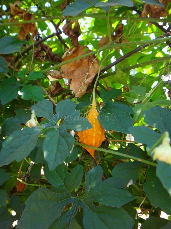 Rijp fruit van de cajetan ` s meloen van heilige stock foto's
