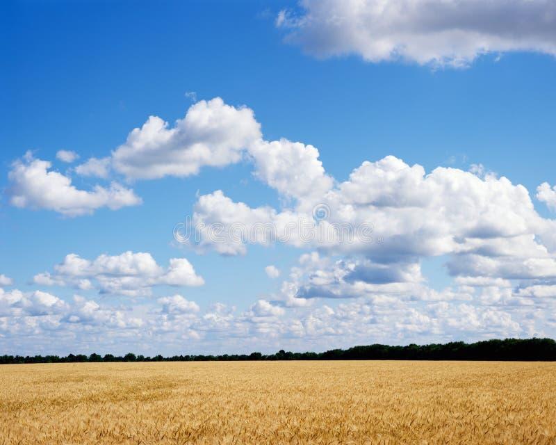 Rijp gouden tarwegebied klaar voor oogst met briljante blauwe hemel en wolken stock afbeeldingen