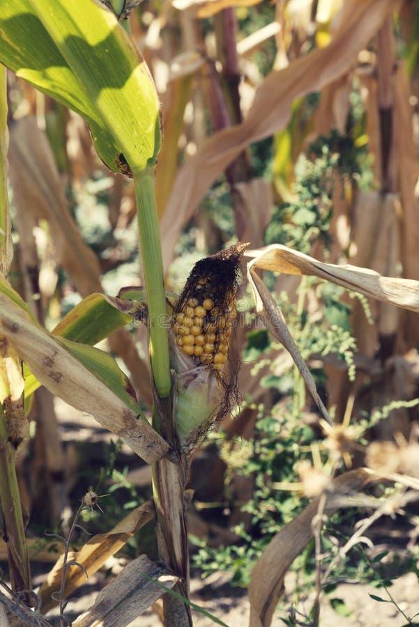 Rijp graan op een stam op een gebied in de recente zomer stock foto's