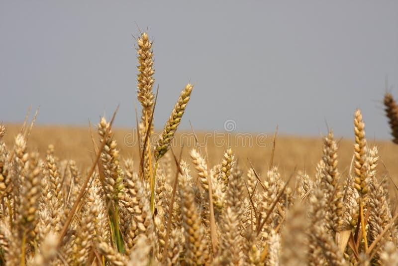 Rijp graan op gebied klaar te oogsten. royalty-vrije stock afbeelding