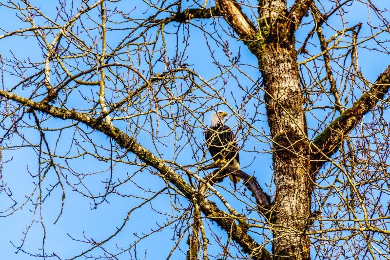 Rijp Kaal Eagle zittend in boom het letten op voor het kuit schieten zalm in Stave River stock afbeeldingen